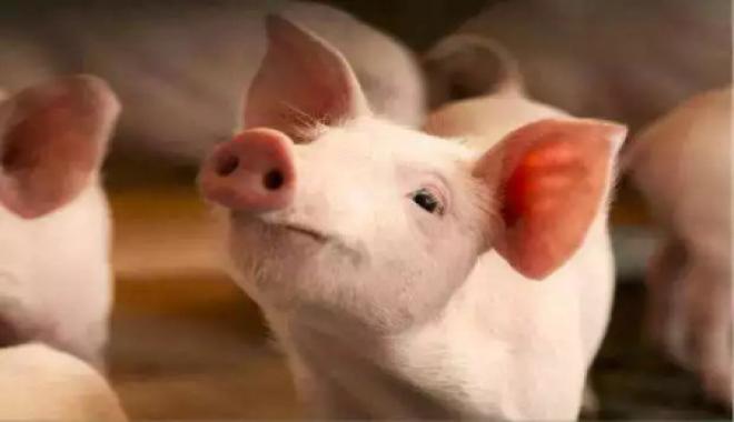 2021年10月26日全国各省市20公斤仔猪价格行情报价,猪价疯涨,仔猪价格能否迎来彻底转折?
