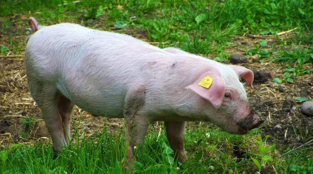 """宁可错杀一千,不可放过一个!猪场消毒有诀窍,关注""""一重""""和""""六好""""!"""